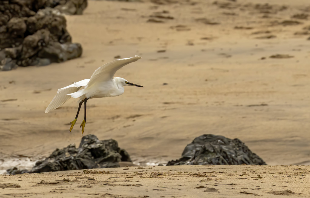 Egret on Hayle beach  by shepherdmanswife
