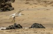 7th Oct 2020 - Egret on Hayle beach