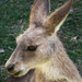Wallaby at Peach Creek