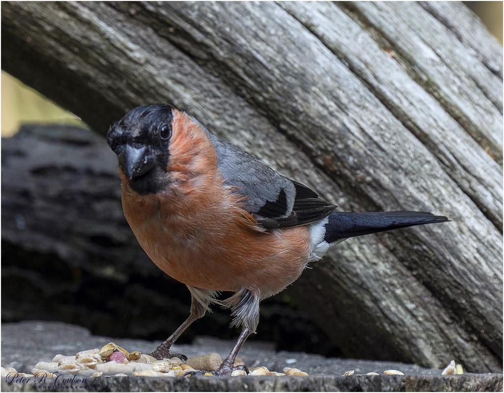 Male Bullfinch by pcoulson