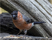6th Oct 2020 - Male Bullfinch