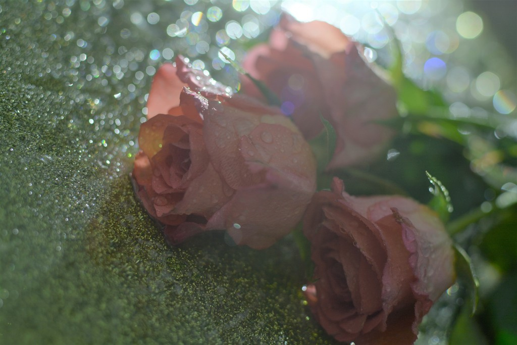 Roses trio.......... by ziggy77