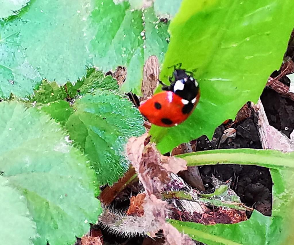 Ladybird  by plainjaneandnononsense