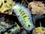 7th Oct 2020 - Pale Tussock Moth