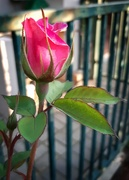 7th Oct 2020 - Rosebud
