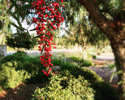 7th Oct 2020 - California Pepper Tree