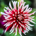 Red & White by carole_sandford