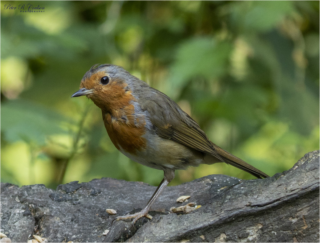 Robin by pcoulson