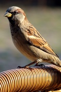 8th Oct 2020 - sparrow 2011-10--8
