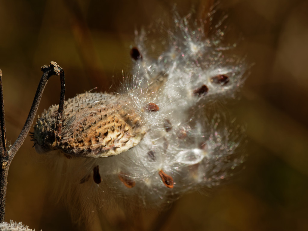 milkweed seeds  by rminer
