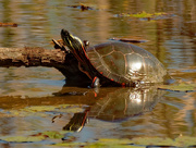 7th Oct 2020 - painted turtle