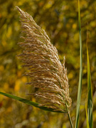 7th Oct 2020 - common reed