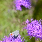 7th Oct 2020 - A Gray Hairstreak!