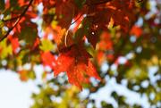 7th Oct 2020 - Orange leaves glowing