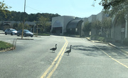 7th Oct 2020 - What stores do geese shop at?