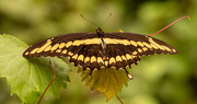 7th Oct 2020 - Giant Swallowtail Butterfly!