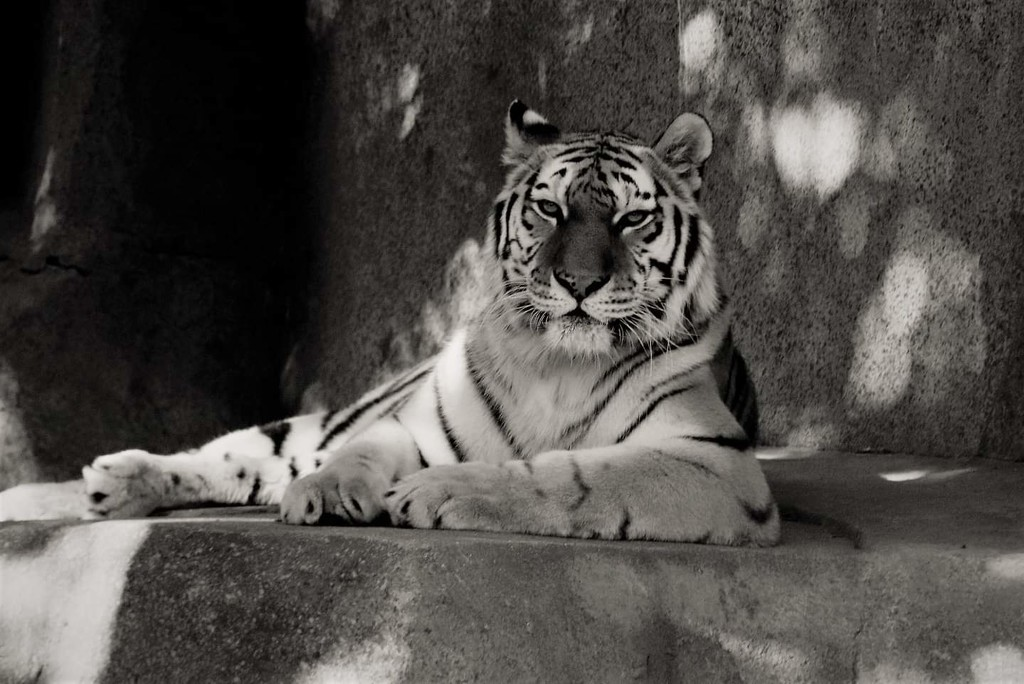 Beautiful Tiger by randy23
