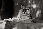 7th Oct 2020 - Beautiful Tiger