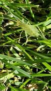 29th Sep 2020 - Glass Grasshopper?