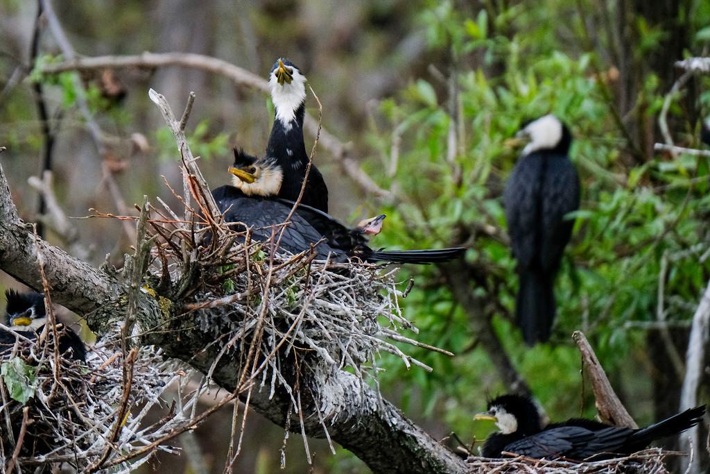 Little shag (cormorant) family by maureenpp