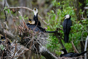8th Oct 2020 - Little shag (cormorant) family