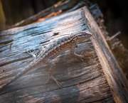 7th Oct 2020 - Lizard enjoying the last bit of sunshine