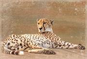 8th Oct 2020 - Cheetah lazing around