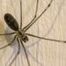 Daddy Long Legs Spider by nickspicsnz