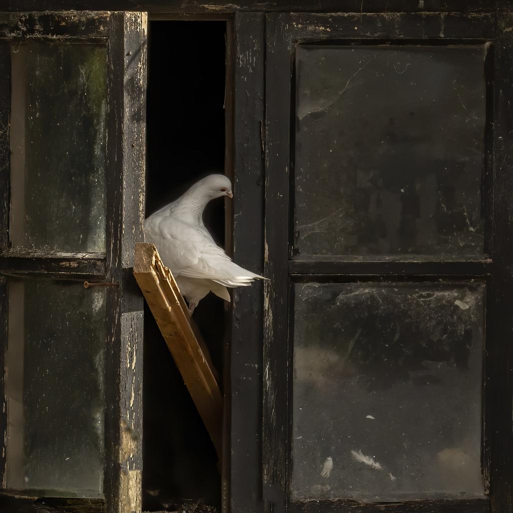 Dove by shepherdmanswife