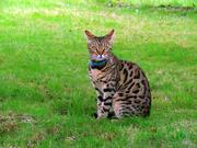 8th Oct 2020 - Bengal Cat