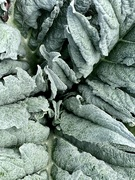 24th Sep 2020 - Artichoke leaves
