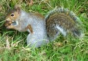 8th Oct 2020 - Squirrel