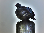 8th Oct 2020 - Pigeon on a Pole