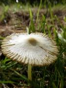 1st Oct 2020 - Pleated Inkcap Mushroom