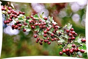 8th Oct 2020 - Bokeh & Berries