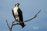8th Oct 2020 - An Osprey with a regal pose! Back online!