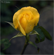 8th Oct 2020 - Yellow Rose