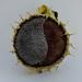 Sunflower by francesc