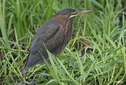 8th Oct 2020 - The Green Heron