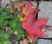 8th Oct 2020 - Canada's Maple Leaf
