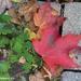 Canada's Maple Leaf