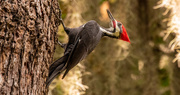 8th Oct 2020 - Mr Pileated Woodpecker!