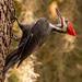 Mr Pileated Woodpecker! by rickster549
