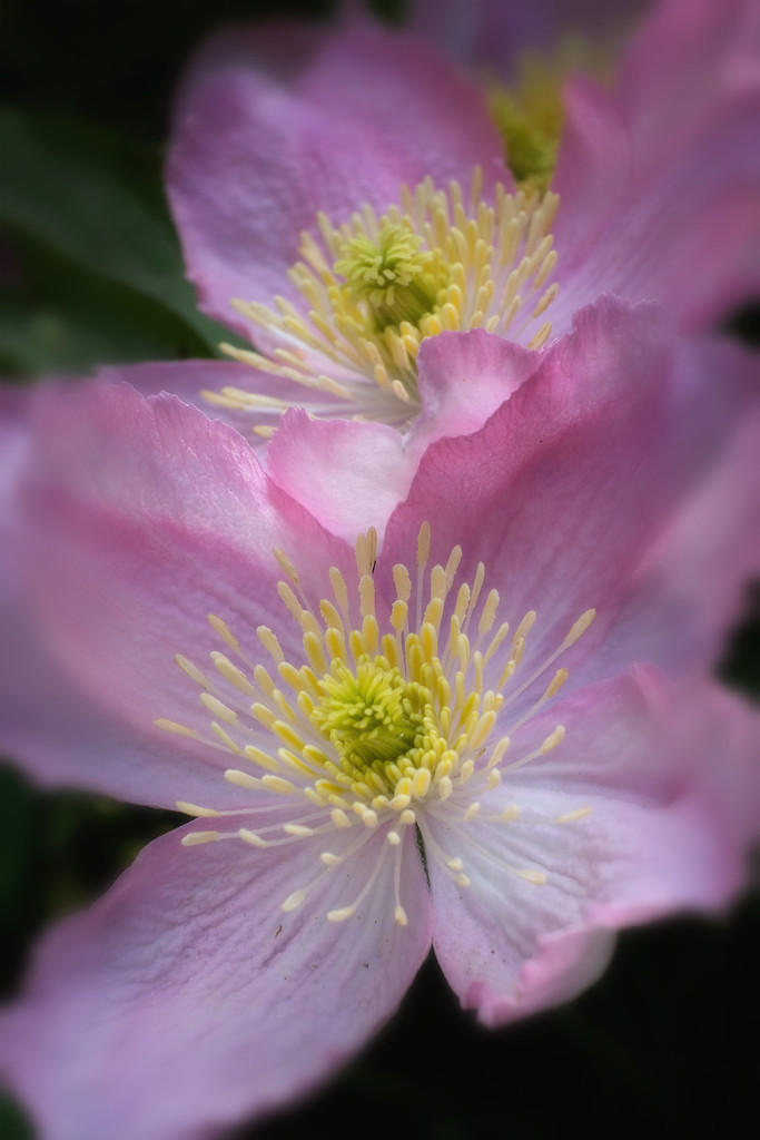 Pink clematis by maureenpp