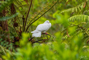 9th Oct 2020 - The Dove from Above