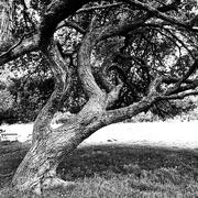 9th Oct 2020 - Trees of Keurboom #1