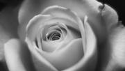 8th Oct 2020 - tea rose