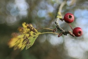 9th Oct 2020 - Two Berries,  Two Leaves