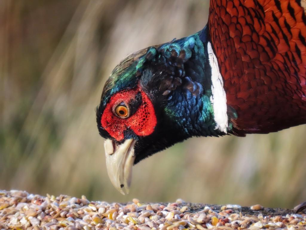Autumn pheasant  by craftymeg