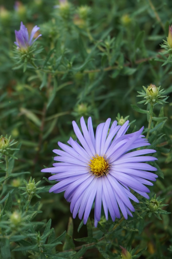 The aster is finally starting to bloom by tunia